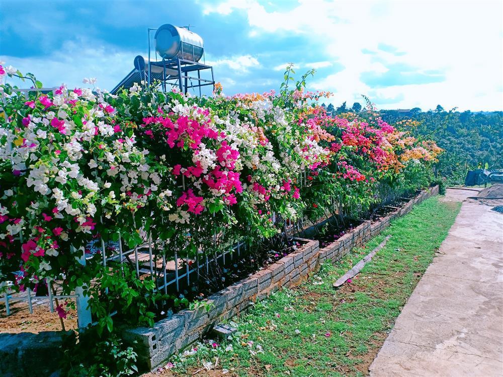 Vườn hoa giấy đẹp như cổ tích của chàng trai trẻ dành cả thanh xuân chăm sóc-6