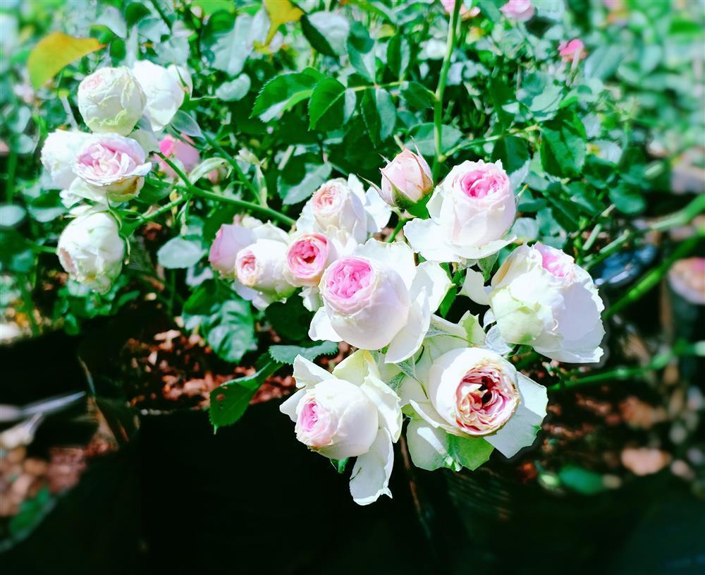 Vườn hoa giấy đẹp như cổ tích của chàng trai trẻ dành cả thanh xuân chăm sóc-9