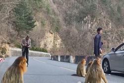 Cảnh đàn khỉ vàng xuống đường tìm thức ăn ở Trung Quốc