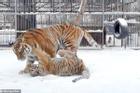 Con hổ 8 tháng tuổi ở Nga nổi tiếng vì phát ra âm thanh lạ