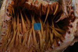 Bên trong miệng một con rùa biển có những gì