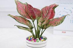 Những loại cây dễ trồng, dễ chăm, đặt trong nhà vô cùng may mắn
