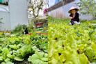 Đã mắt ngắm vườn rau của mẹ Hồ Ngọc Hà giữa đô thị