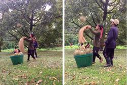 'Sốc' trước cảnh người Thái Lan thu hoạch sầu riêng từ cây cao