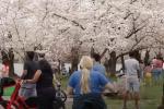 Hoa anh đào nở hút du khách tới Washington DC