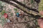 Màn phối hợp thu hoạch sầu riêng từ trên cây cao