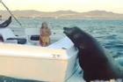 Sư tử biển khổng lồ áp sát thuyền xin cá ngư dân