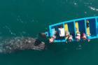 Cá voi xám bơi cạnh thuyền khách tham quan ở Mexico