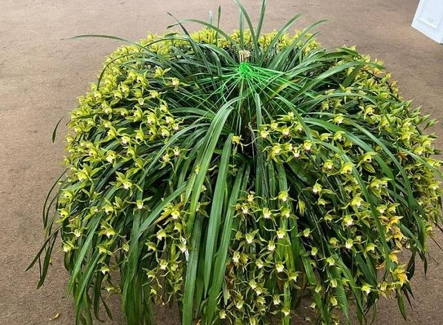 Sự thật về loài hoa lan vua chúa chỉ mấy chục ngàn đồng mua cả ôm-1