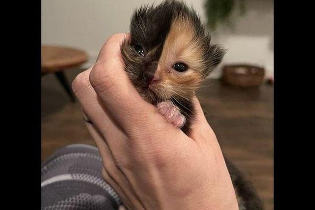 Mèo con mặt 2 nửa màu đốn tim cư dân mạng-2