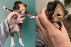 Mèo con mặt 2 nửa màu 'đốn tim' cư dân mạng