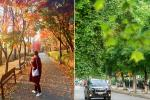 Sự thật về hàng phong lá đỏ tuyệt đẹp bị phá bỏ ở khu Nguyễn Chí Thanh