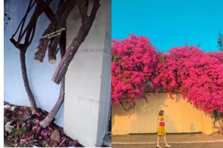 Khởi tố, bắt giam kẻ gian chặt gốc giàn hoa giấy đẹp nhất Vũng Tàu