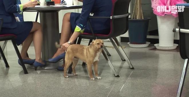 Chú chó mê gái khét tiếng ở sân bay Hàn Quốc-6