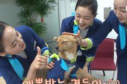 Chú chó 'mê gái' khét tiếng ở sân bay Hàn Quốc