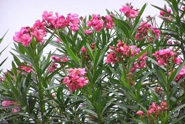 6 loại cây kẻ thù của tiền tài, chứa nhiều sát khí, chớ dại trồng trong nhà-2