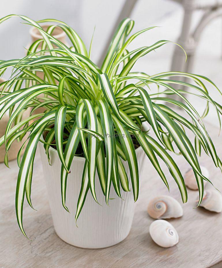 7 loại cây cảnh NÊN đặt trong phòng ngủ vừa tốt cho sức khỏe vừa hợp phong thủy-3