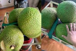Thu hoạch được 3 trái mít nặng gần 30kg, tới lúc đem bán chàng trai 'sốc nặng'