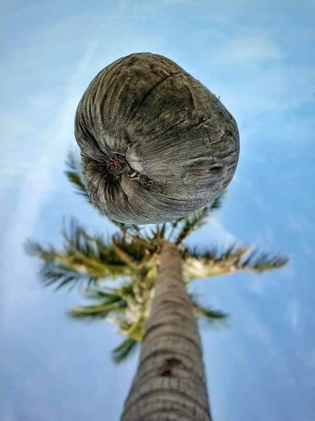 Bức ảnh chụp góc hiểm của cây dừa khiến thanh niên phải thay điện thoại mới đăng được lên FB-1