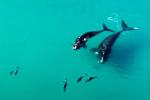 Đàn cá heo khổng lồ chơi đùa tại bãi biển Australia