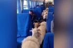 Chuyến tàu chở gia súc độc đáo ở Trung Quốc