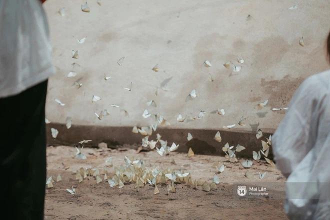 Choáng ngợp trước mùa bướm ở Quảng Bình đẹp đến nao lòng-1