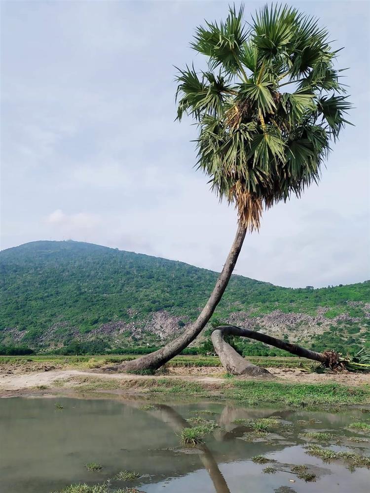 Sau mưa giông, cây tình yêu ở Tây Ninh bị quật ngã, chỉ còn lẻ bóng đi về-1