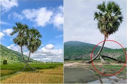 Sau mưa giông, cây tình yêu ở Tây Ninh bị 'quật' ngã, chỉ còn 'lẻ bóng đi về'