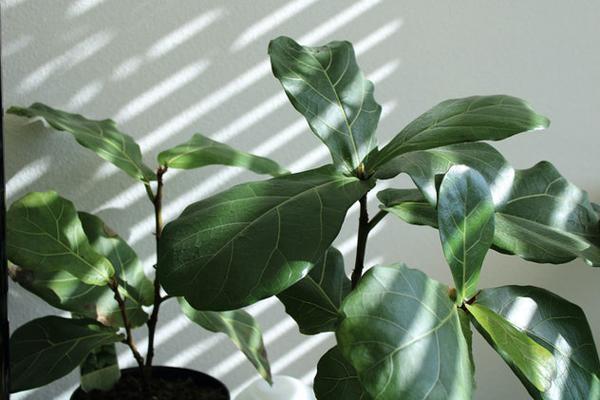Những loài cây trong lành, đem đến may mắn và tài lộc cho 12 chòm sao-5