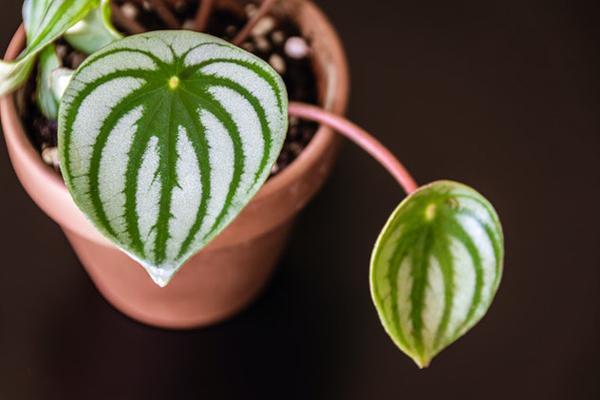 Những loài cây trong lành, đem đến may mắn và tài lộc cho 12 chòm sao-11