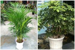 Người giàu ít khi hé lộ: 6 loại cây cứ trồng trước nhà sẽ may mắn liên tục