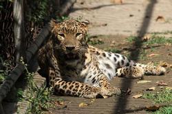 3 con báo hoa mai trốn thoát khỏi vườn thú Trung Quốc