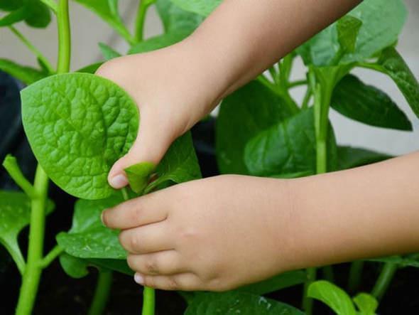 Mùa hè ăn rau mùng tơi khác nào thuốc độc, nhất định phải biết điều cần tránh-2