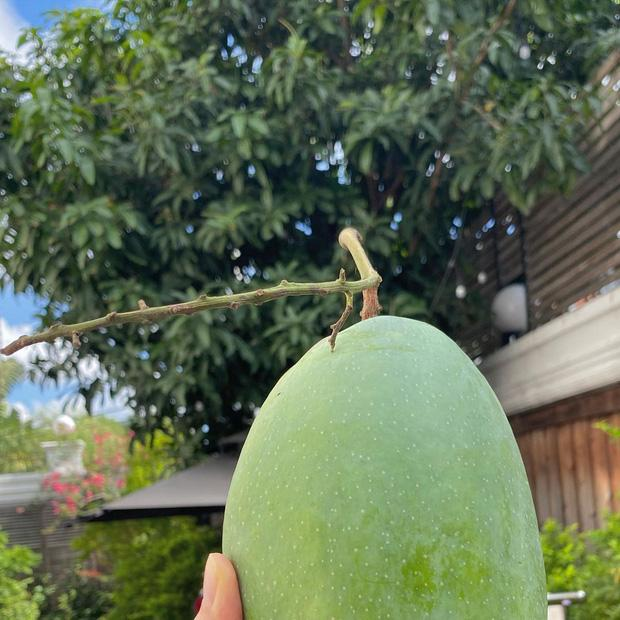 Dâu hào môn Hà Tăng cuối tuần làm nông dân, khoe trái xoài bự gần 1kg trong vườn biệt thự-2