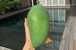 Dâu hào môn Hà Tăng cuối tuần làm 'nông dân', khoe trái xoài bự gần 1kg trong vườn biệt thự