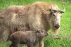 Linh ngưu quý hiếm lần đầu sinh ra trong vườn thú ở Mỹ