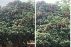 Ngôi trường 'sung sướng' nhất Việt Nam vì có tới 2 cây cho quả trĩu cành trong sân