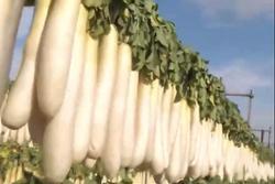 Trang trại củ cải khổng lồ ở Nhật