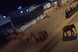 Đàn voi hoang dã đi lạc vào thị trấn ở Trung Quốc