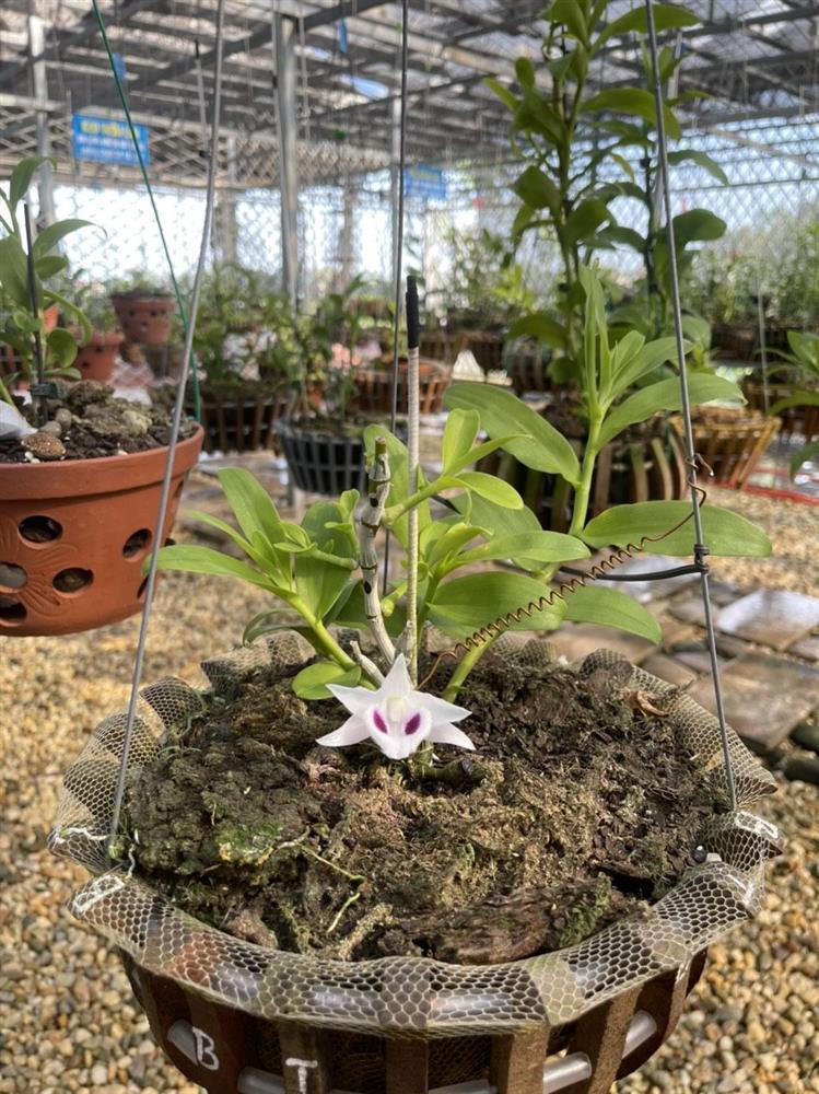 Chủ vườn lan Tam Đảo bật mí cách trồng lan cực chất cho người mới bắt đầu-4