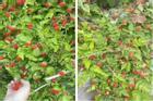 Ở Hàn có loại quả mọc đầy không ai hái, về Việt Nam 'đóng hộp' bán cả chục nghìn