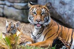 Vườn thú Ba Lan ra mắt cặp đôi hổ con Siberia quý hiếm