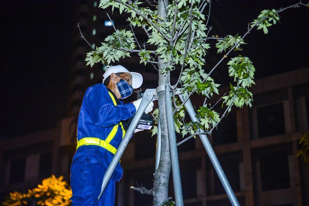 Hàng chục công nhân xuyên đêm di chuyển hàng cây phong lá đỏ trên đường Trần Duy Hưng-4