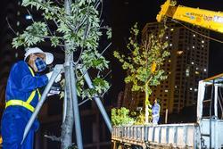 Hàng chục công nhân xuyên đêm di chuyển hàng cây phong lá đỏ trên đường Trần Duy Hưng