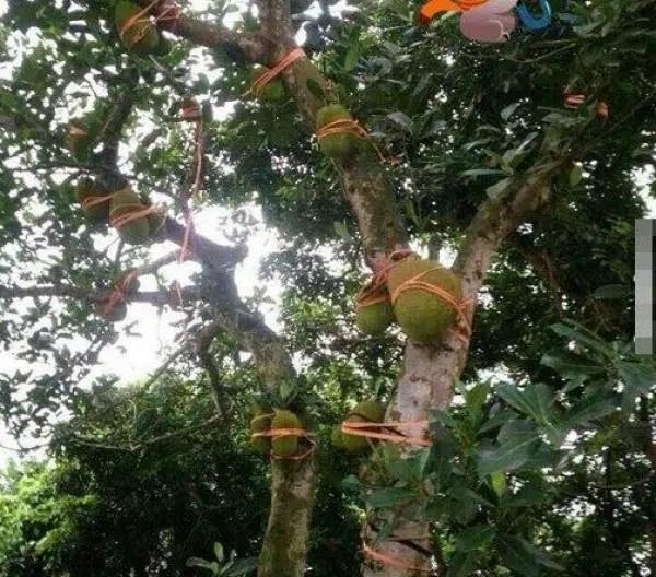 Hàng xóm bảo vệ cây mít bất khả xâm phạm, láng giềng đau con mắt-6