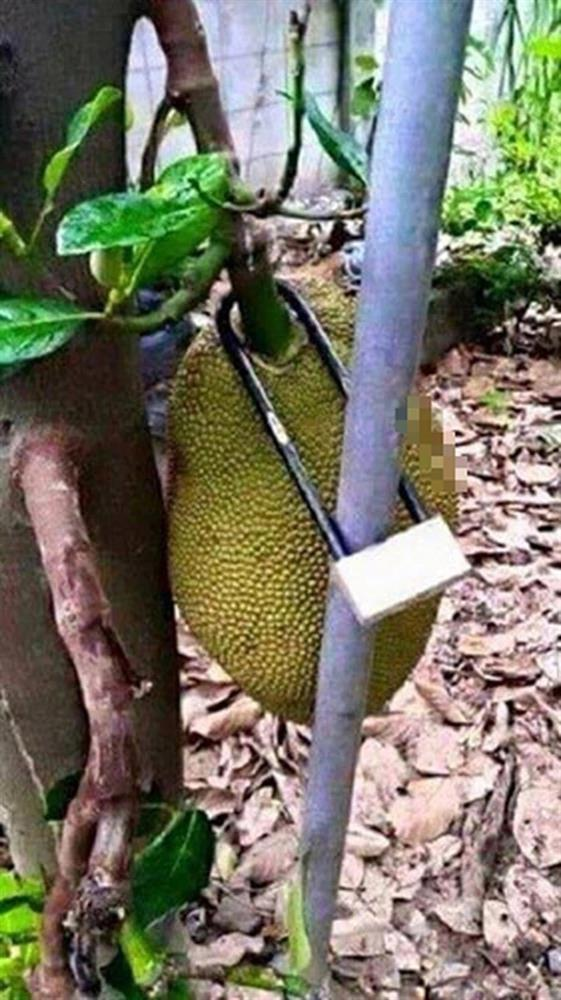 Hàng xóm bảo vệ cây mít bất khả xâm phạm, láng giềng đau con mắt-8