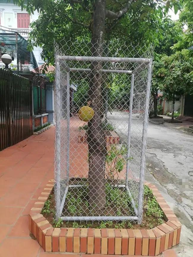 Hàng xóm bảo vệ cây mít bất khả xâm phạm, láng giềng đau con mắt-9