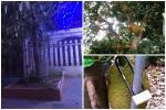 Hàng xóm bảo vệ cây mít 'bất khả xâm phạm', láng giềng đau con mắt