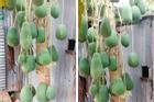 Cây đu đủ định giá 7 tỷ vì mọc quả siêu 'dị biệt', Việt Nam hiếm nơi trồng được