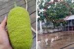 Sửng sốt cây mít cổ thụ cho nhiều quả bậc nhất Việt Nam-5